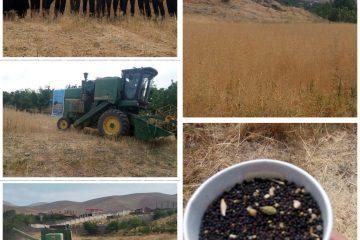 کشت کلزا در ۲۹ هکتار از اراضی دماوند/ گیاه کلزا میتواند جایگزین خوبی برای گندم باشد