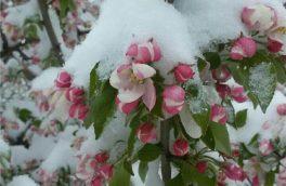 سرمازدگی؛ بلای دسترنج باغداران/ برف بهاری میوههای دماوند را چید