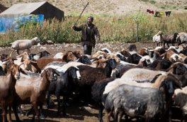 عشایر دماوند سالانه ۶ هزار تن گوشت قرمز تولید می کنند/ دماوند ۳۸۰ خانوار عشایر مقیم و میهمان دارد/ ۲۵۰ کیلومتر راه عشایری در دماوند بازسازی شد