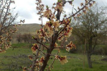 سرما باز هم محصولات باغات دماوند و فیروزکوه را سیاه کرد+ تصاویر