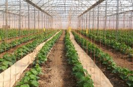 فعالیت ۳۵ واحد تولید محصولات گلخانهای در دماوند/ پرداخت ۵۲ میلیارد ریال تسهیلات برای کشت گلخانه