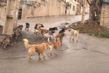 سریال جولان سگهای بدون صاحب در دماوند/ سگها امان مردم را بریدند!