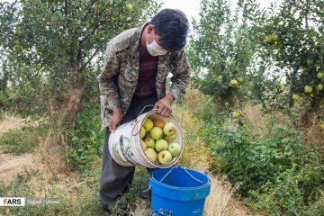 فیلم| داستانی تلخ و تکراری؛ سیب درختی باغداران دماوند به بازار نرسید!